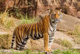 Photo of Tiger captured alive !