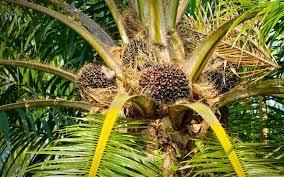 Photo of Rule on Malaysia-EU palm oil spat