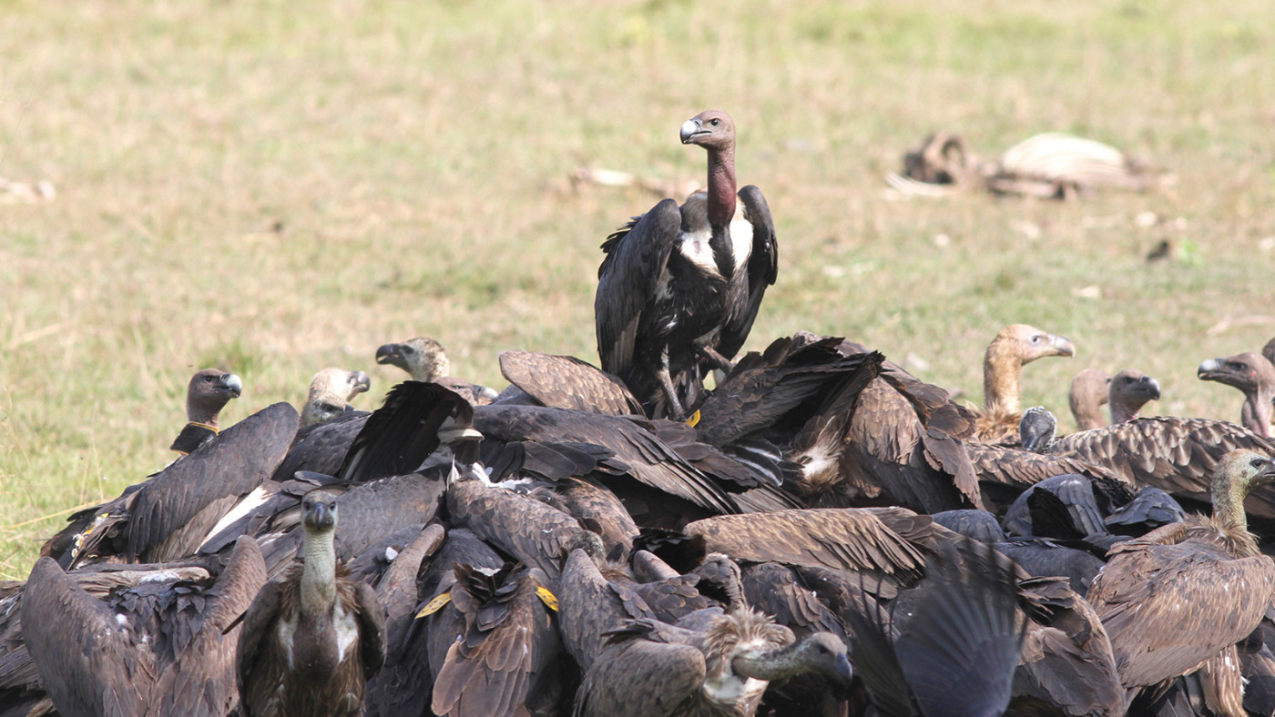 The International Vulture Awareness Day is today